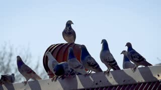 Pigeon goes for ride on top of spinning roof ventilator