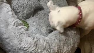 """Dog """" burying"""" her treat"""