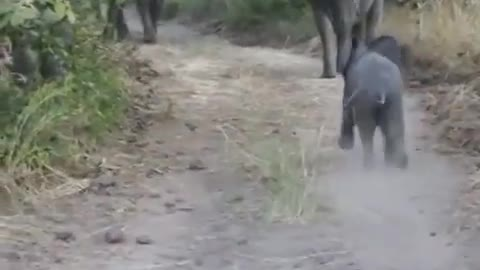Elephant calf practicing its charge. 🐘