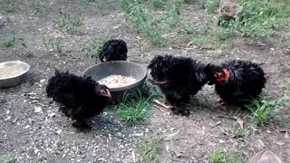 Frizzle chicken party