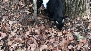 Running Goat