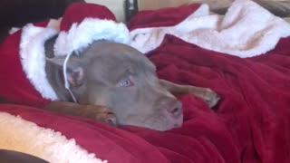 Festive dog watches holiday movie