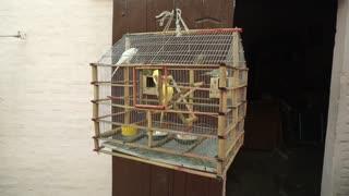 Lovebirds Inside A Hanging Cage (4)