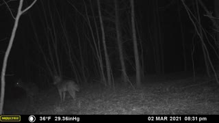 Coyotes Doing Coyote Things