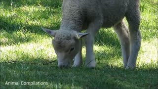 FUNNY BABY SHEEP COMPILATION