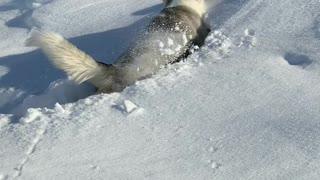 Determined Dog Trudges Through Deep Powder