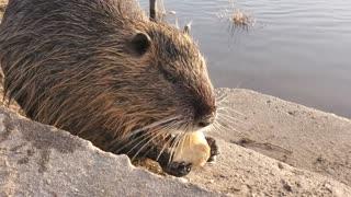 Adorable moment beaver Cute 2021