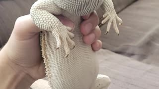 Bearded dragon dances to fortnite