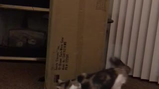 Cat going in circles around box