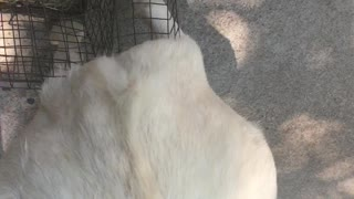 Goat Using Bunny Cage to Scratch Personal Itch