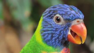Clingy parakeet won't stop talking
