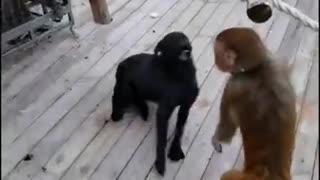 Monkey attack dog