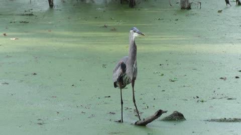 Great Blue Heron fishing in Florida swamp
