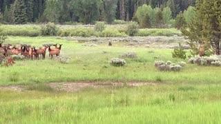 Adolescent Grizzly Hunts Elk Herd