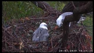Sydney White-bellied Sea-Eagle