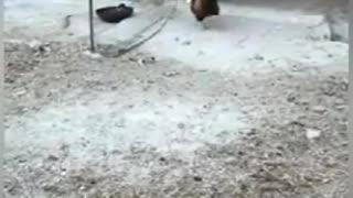 Amazing Chicken Vs Dog Fight.