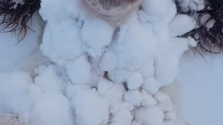 Springer Spaniel Becomes One with the Snow