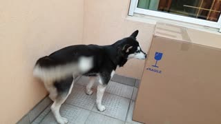 Husky does everything possible to reach owner in cardboard box