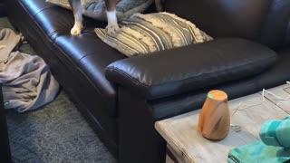 English Bulldog afraid of aromatherapy diffuser