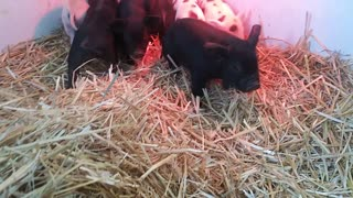 Baby Pigs....Less Than 1 Week Old