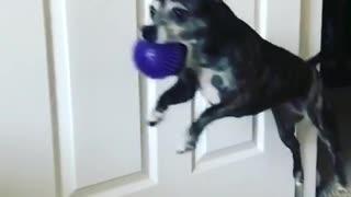 Dog jumps unto bed