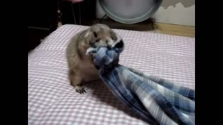 Gophers adore soft blankets.