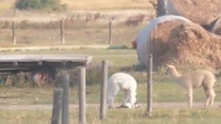 Alpaca Plays With Feline Best Friend