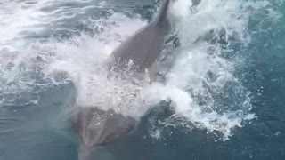 Dolphins Frolic and Follow Jet Boat