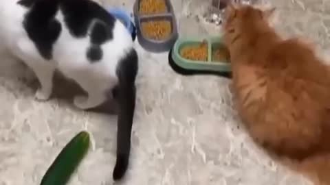 Funniest Cats - Don't try laugh challenge 😹