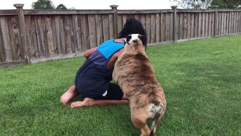 Bulldog Doesn't Appreciate Owner Wearing Gorilla Mask
