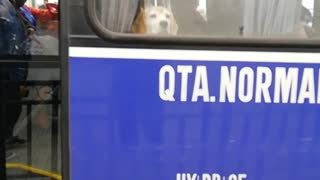 Brown dog at window of blue bus