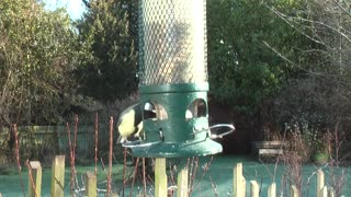 Pigeons Picking Up Some Food From Moving Lighter In Garden