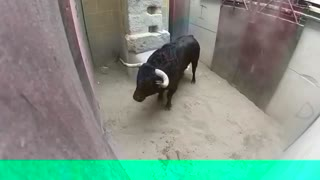 Funny Bull Fight Video - Watch Once