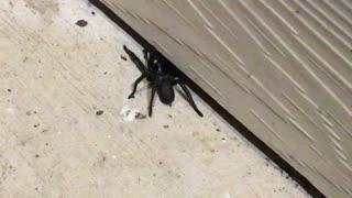 Front Porch Tarantula