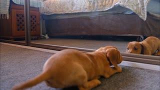 Puppy looking into mirror