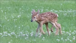 Twin Baby Deer Fawns with Mother