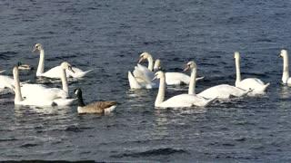Lovely Swans swimming