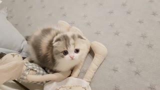 Cute short little kitty