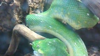 Snake eating Rat