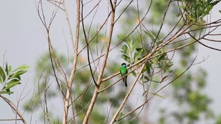 Blue and green bird on a branch - With great music