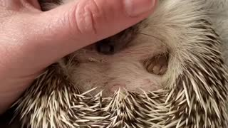 Calm hedgehog is receiving some love from the owner