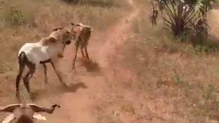 OMG !! Animal fighting.....