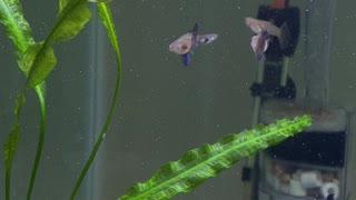 American Purple guppies