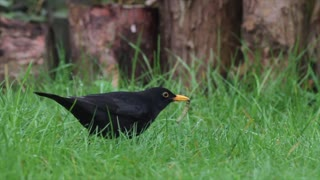 Black crow gets tasty warms from grass