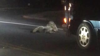 Rumbling Raccoons Hold Up Traffic
