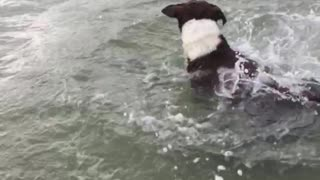 Dog diving underwater and getting rock