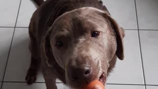 Labrador egg fail