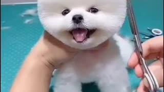 Cute Dog Getting A Clean Cut.