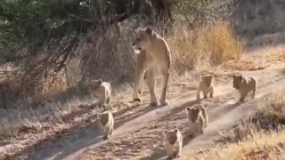 A caring lioness and her cute cubs