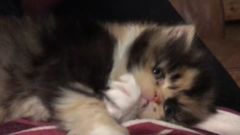 cute calico persian kitten